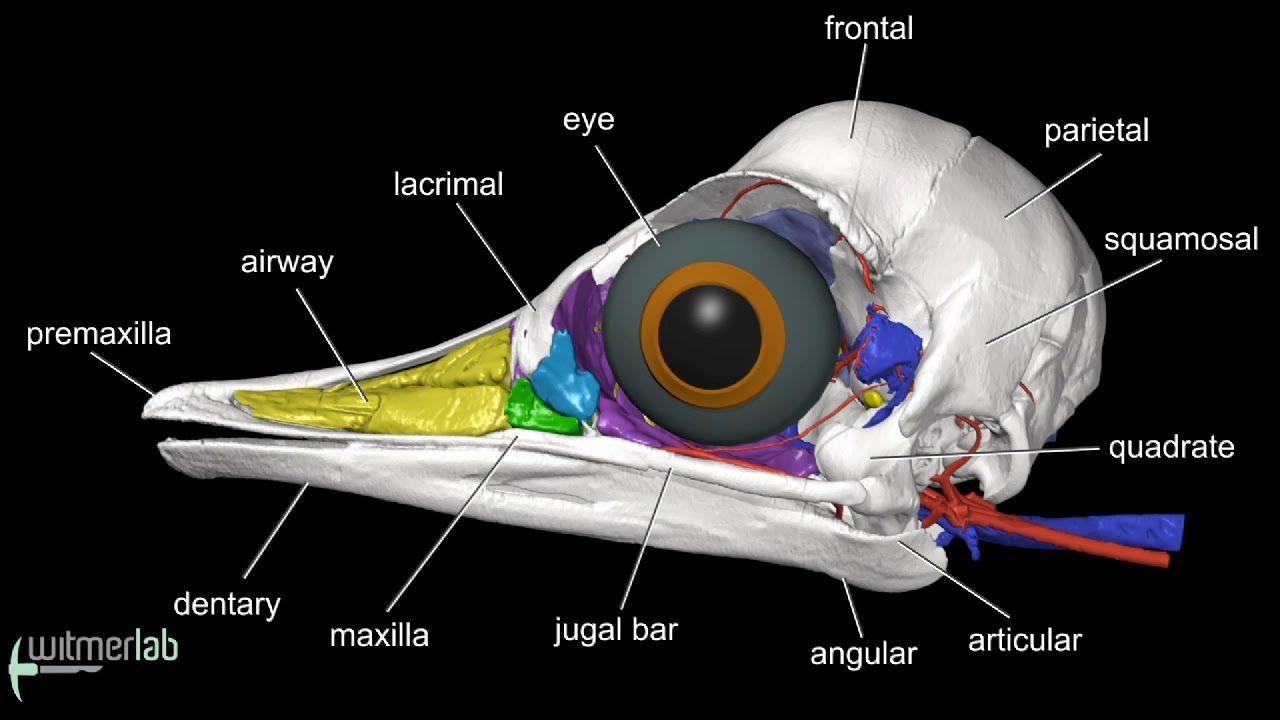 Image result for bird eye anatomy | Raven | Pinterest | Skull ...