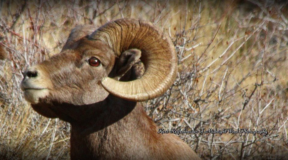 what is the state animal of colorado