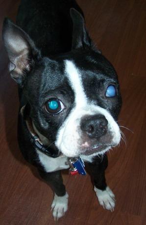 Meet Roxy a Petfinder adoptable Boston Terrier Dog