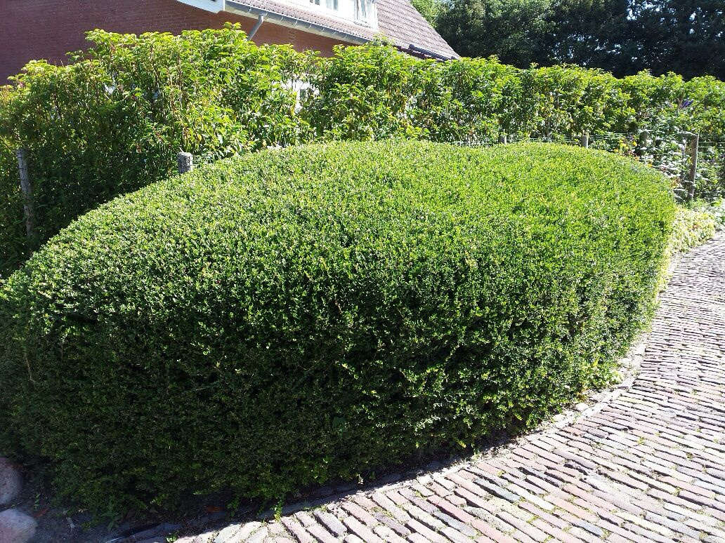 ilex crenata 39 green hedge 39 outdoor l beplanting de 5. Black Bedroom Furniture Sets. Home Design Ideas