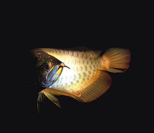 Golden Arowana by Neil Hepworth