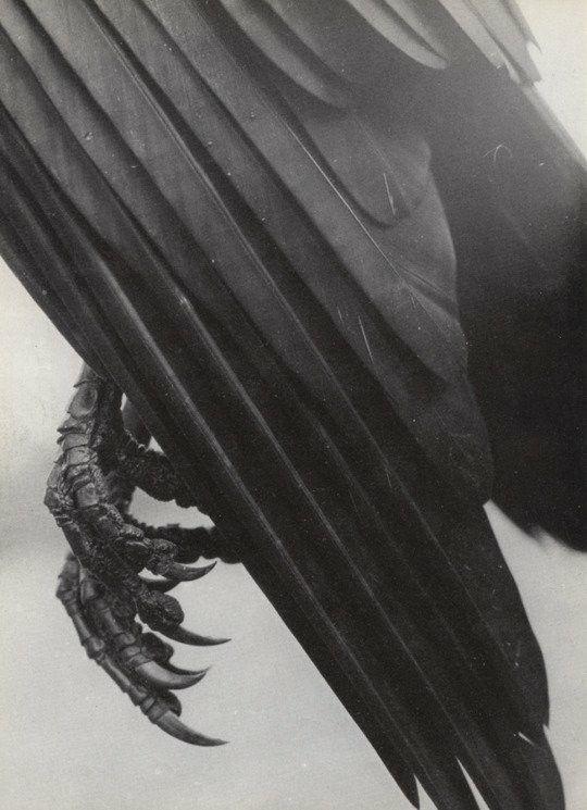 Great pic. | ravens & crows | Pinterest | Cuervo, Anatomía animal y ...