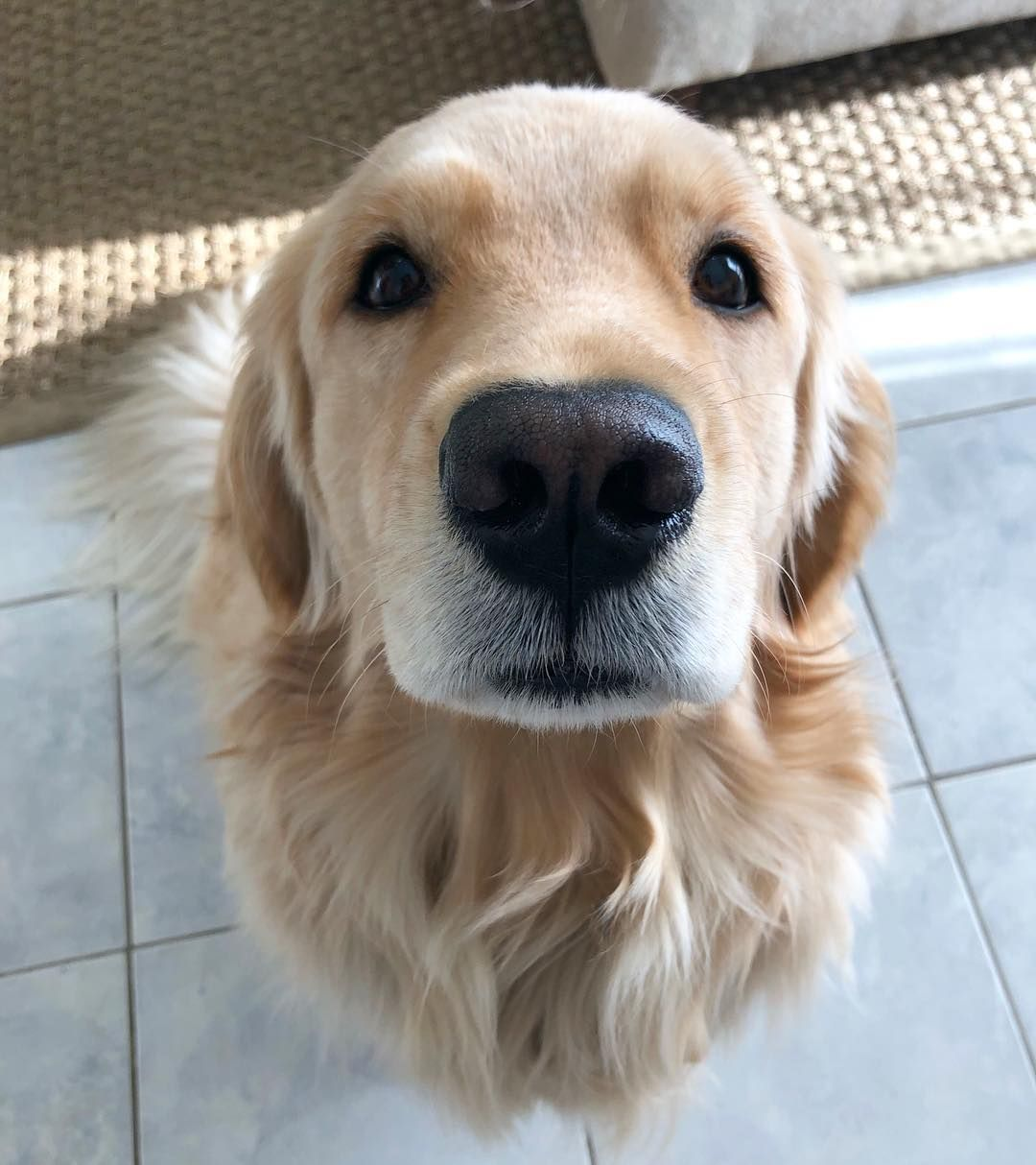 Diy Grooming For Golden Retrievers Do It The Right Way Dog