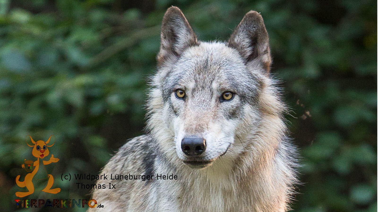 Veranstaltungstipp:  Ein Tag im Zeichen des Wolfs!  Im Wildpark Lüneburger Heide am 219.09.2015