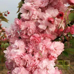 Prunus Candy Floss Flowering Cherry Tree Flowering Cherry Tree Pink Flowers Flowers