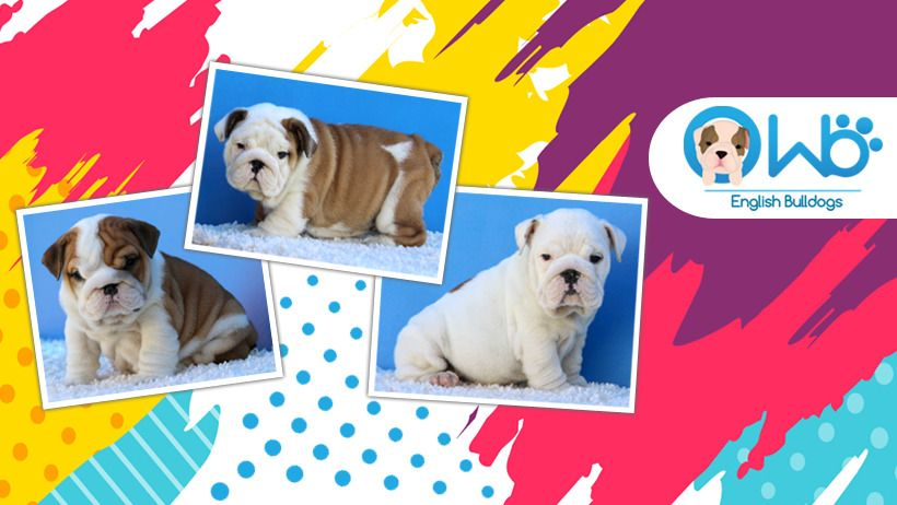 Best English Bulldog Breeders At Wb English Bulldogs English Bulldog Puppies Bulldog Puppies English Bulldog