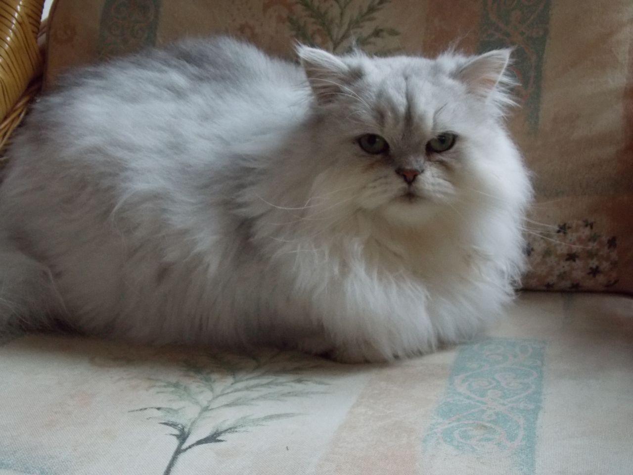 romeo persian cat Cerca con Google