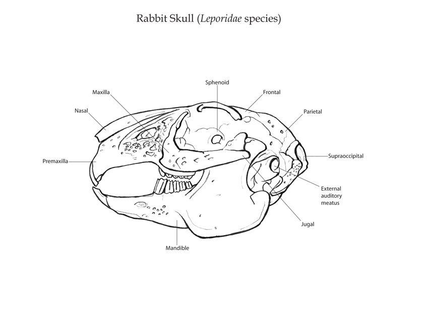 Labelled Diagram Of Rabbit Skull Wiring Diagram
