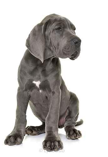 Adorable Great Dane Dane Puppies Great Dane Puppy Great Dane