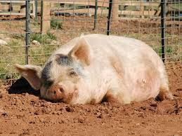 happy pigs - Google Search