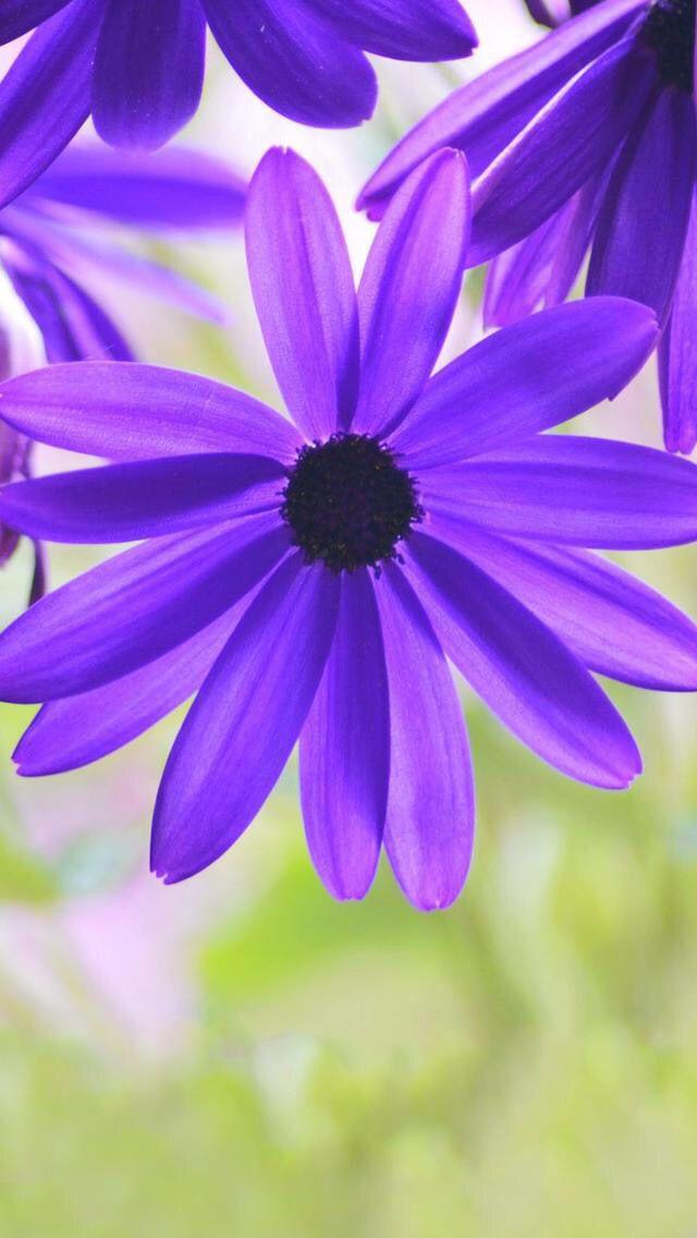 Purple Iphone Wallpaper Nature Flowers