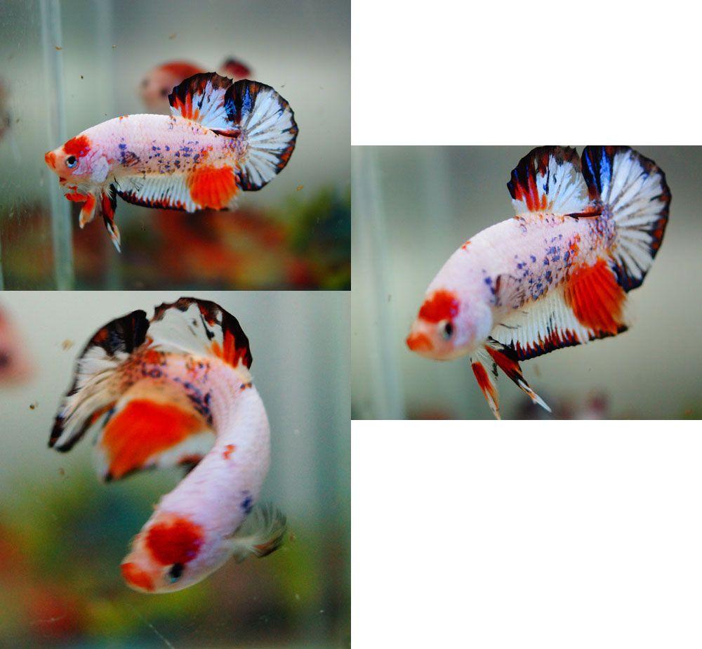Fwbettashmp1410127665 new orange koi dragon for Orange koi fish