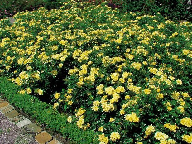 Gracious Groundcovers Ground Cover Roses Ground Cover Plants Landscape
