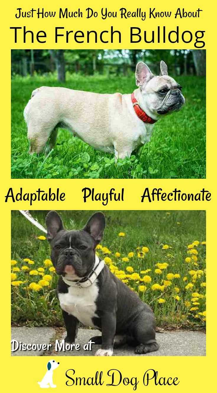 French Bulldog Comical Curious Clever French Bulldog French