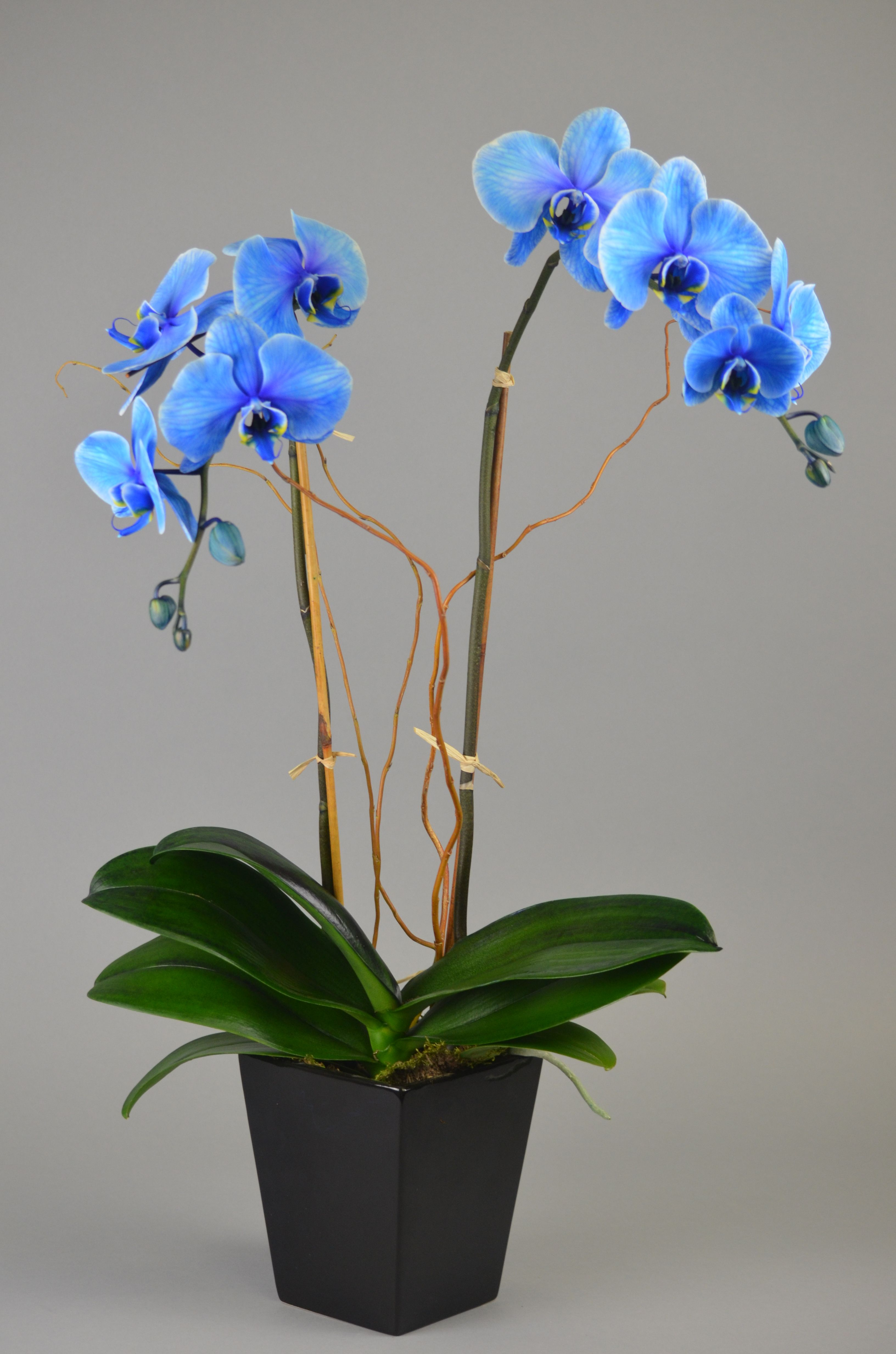 Blue Diamond Orchid Colorfuze By Pure Beauty Orchids
