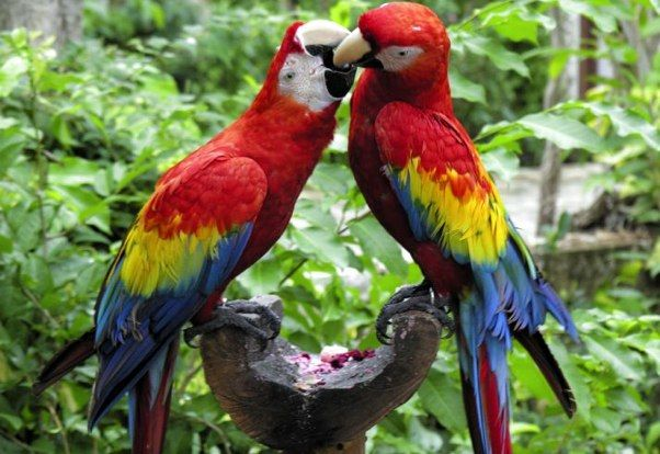 Kissing Macaws In Our Florida Parrot Rescue Aren T They The Sweetest Melbournebeach Florida Parrot Rescue Adoption Nonpro With Images Parrot Rescue Macaw Parrot
