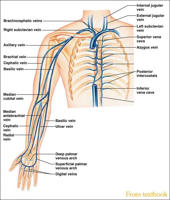 Upper limb vein anatomy