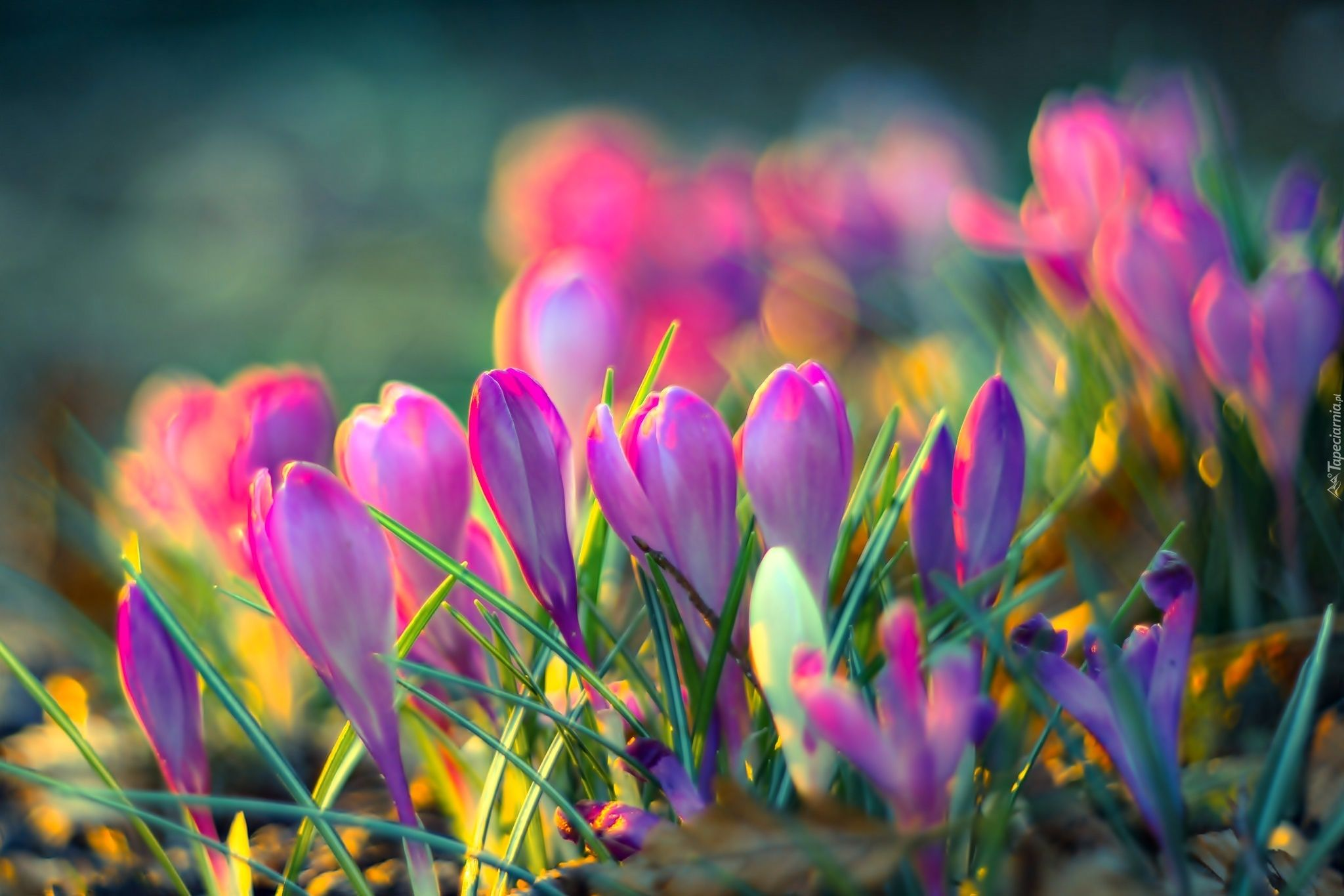 Krokusy Flowers Flowers Photography Spring Flowers