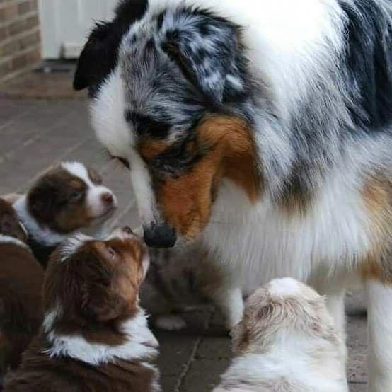 Australian Shepherd Smart Working Dog Australian Shepherd Aussie Dogs Dogs
