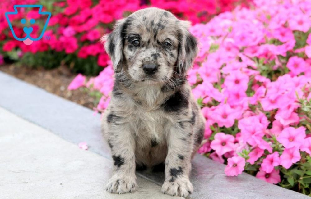 Budda Cocker Spaniel Mix Puppy For Sale Keystone Puppies Cocker Spaniel Mix Golden Retriever Mix Puppies Newborn Puppies