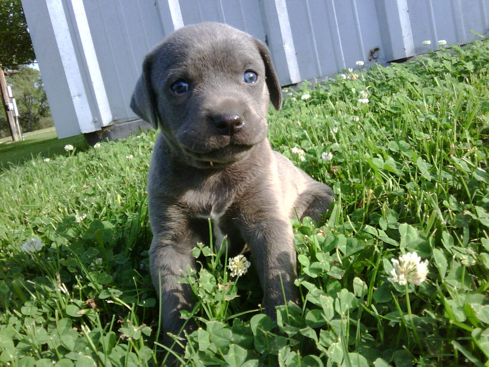 Blue Lacy Puppy State Dog Of Texas South Texas Lacy Dogs