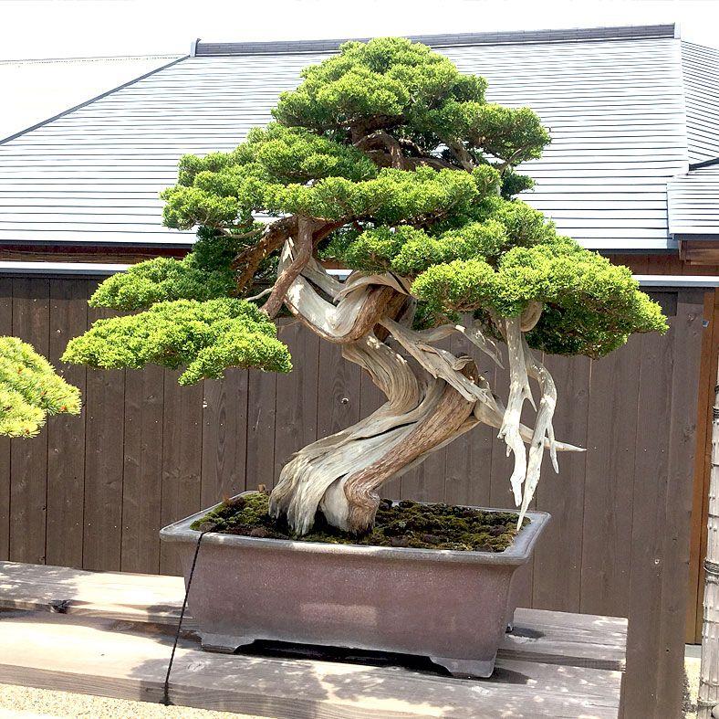 exklusive b ume bonsais online kaufen luxurytrees bonsai pinterest gartenbonsai. Black Bedroom Furniture Sets. Home Design Ideas