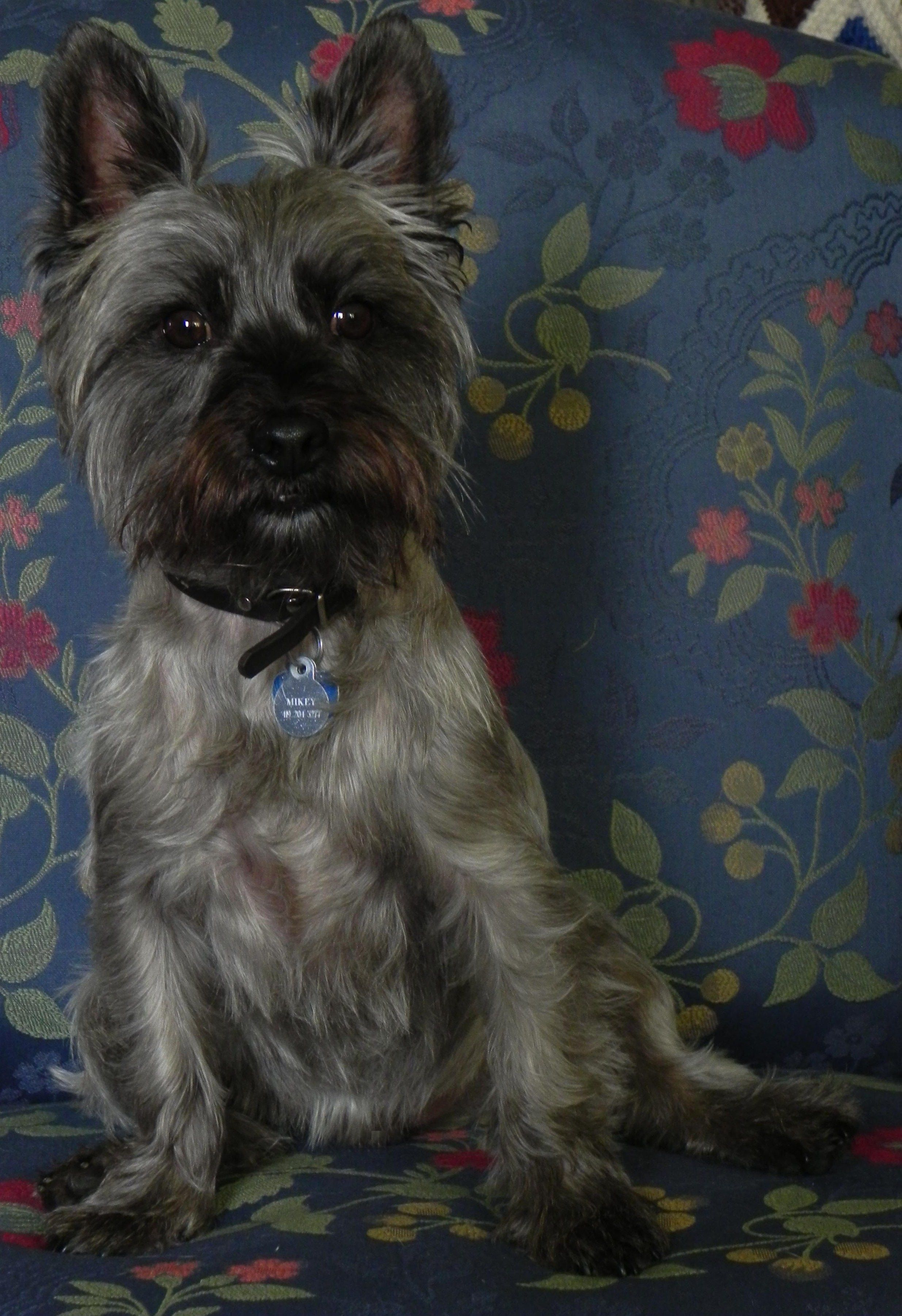 Mikey O Terrier Puppies Cairn Terrier Fluffy Animals