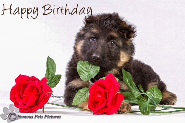 Duitse Herder Pup Felicitatie 3 Kaarten Pinterest