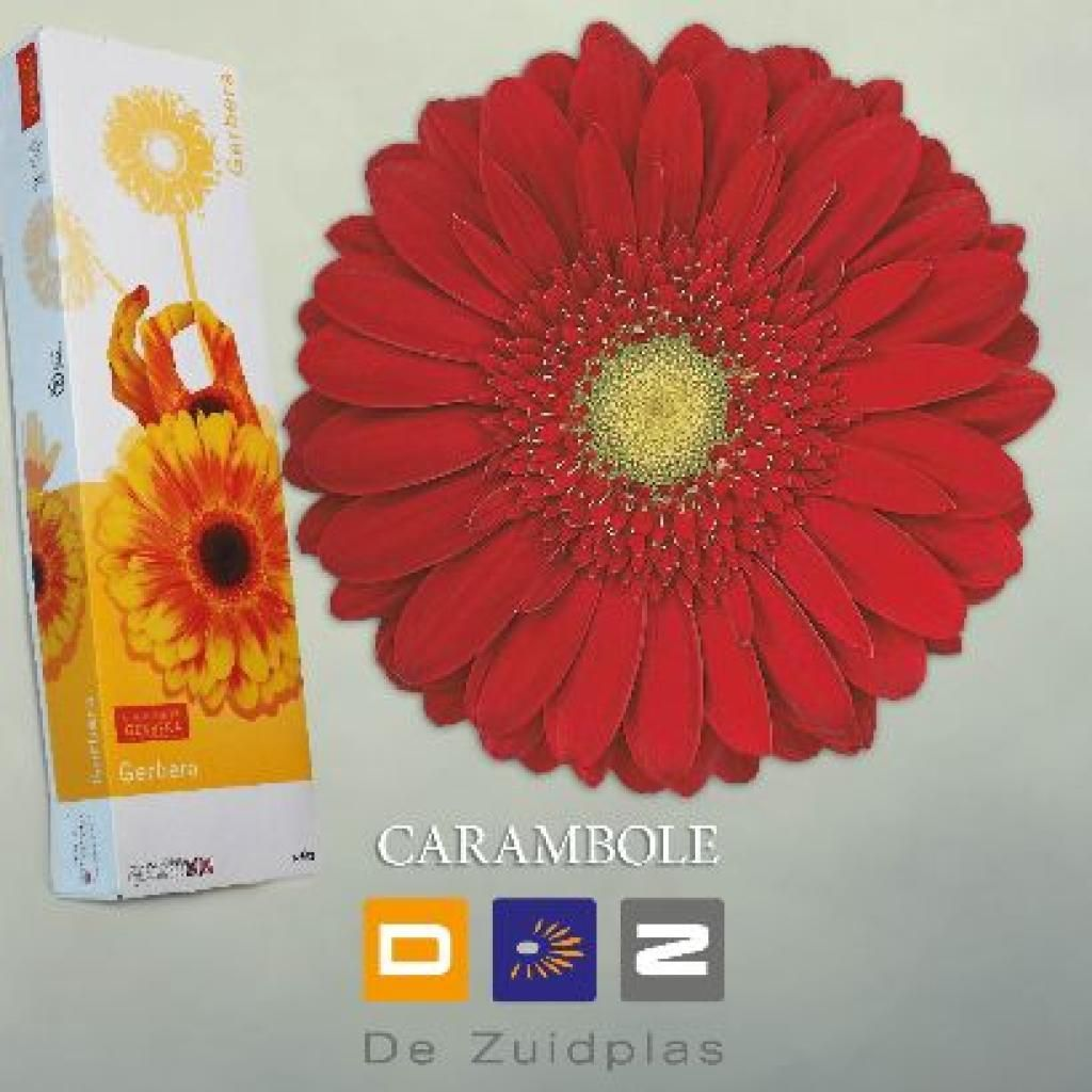 Gerbera Carambole Is A Fantastic Red Variety With A Pale Centre Gerbera Florist Supplies Flowers Delivered