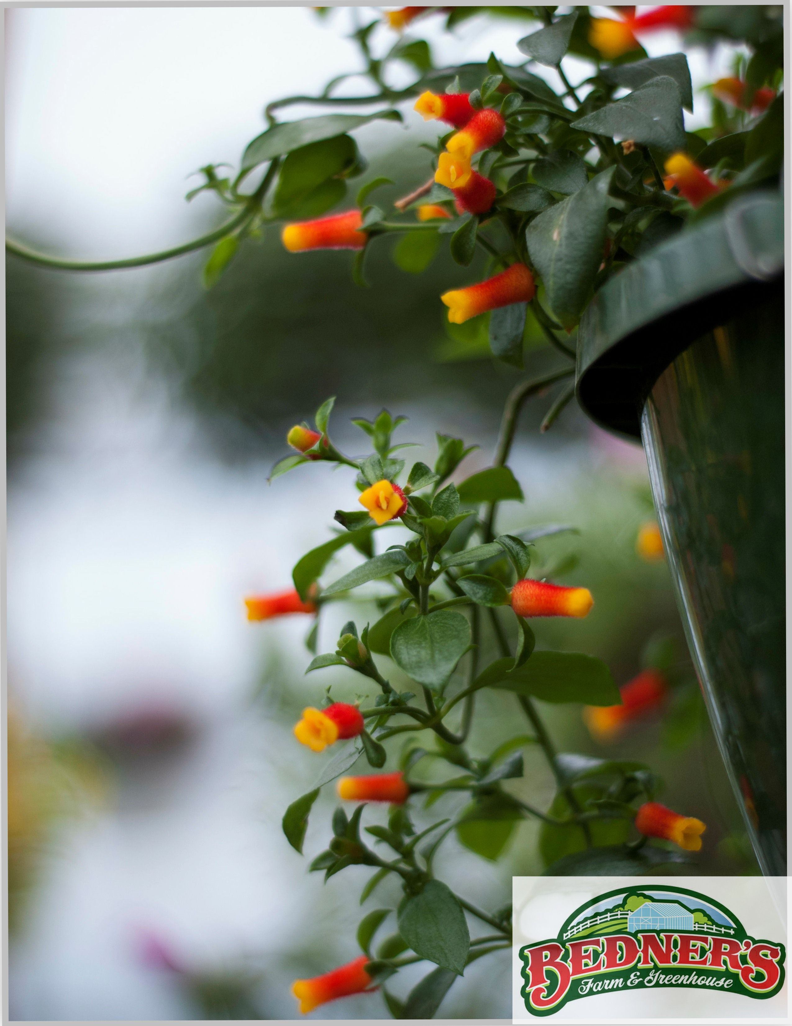 Climbing Vine Trellis Ideas Part - 48: Candy Corn Vine (Manettia) - A Climbing Vine For Hanging Baskets And  Trellises.