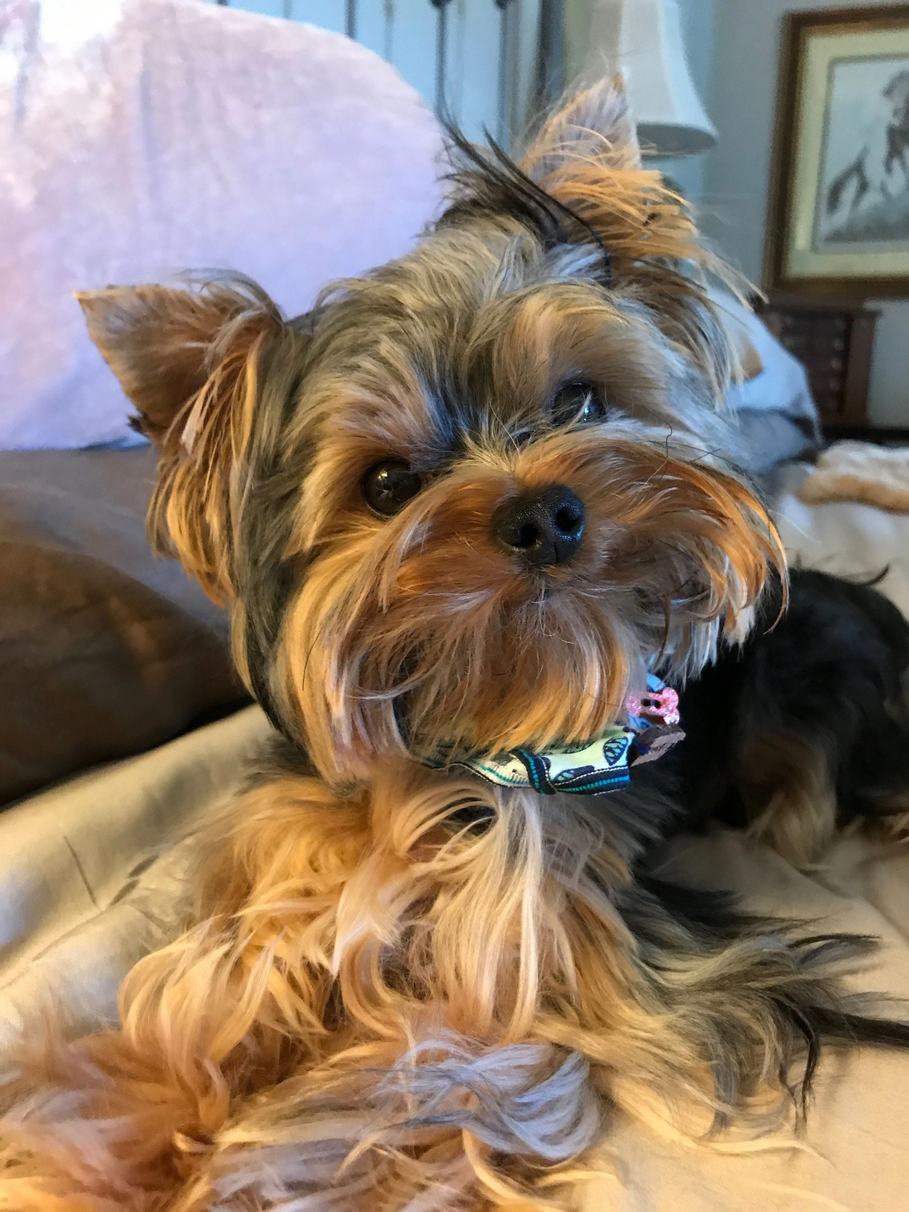 Excellent Yorkshire Terriers Info Is Offered On Our Internet Site