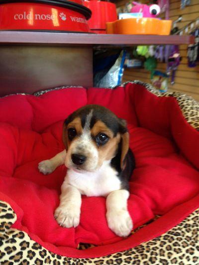 Puppy Store Boca Raton Fl Puppy Plus Pocket Beagle Beagle