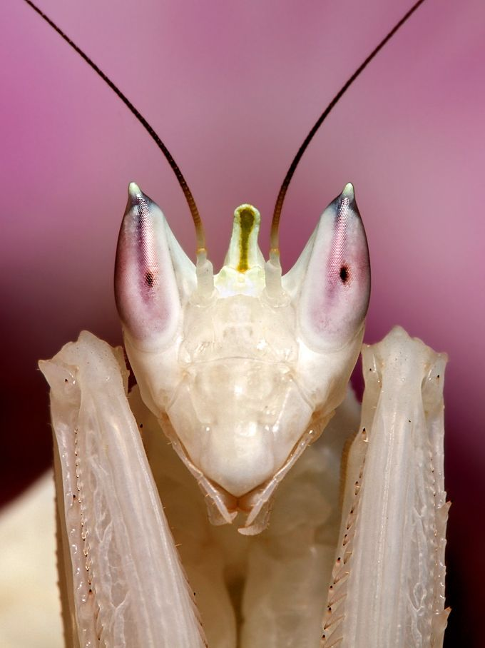 Orchid Mantis Orchid Mantis Insect Art Orchids