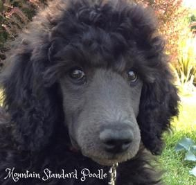 Red Buddy Is An Amazing Standard Poodle Puppy With Lots Of