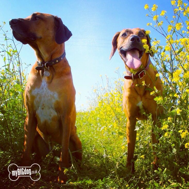 Loving The Summer Sun Big Dogs Giant Breeds Dogs Of The World