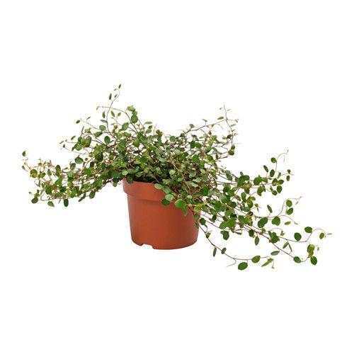 Muehlenbeckia Pianta Da Vaso Ikea Photoshop Vegetazione