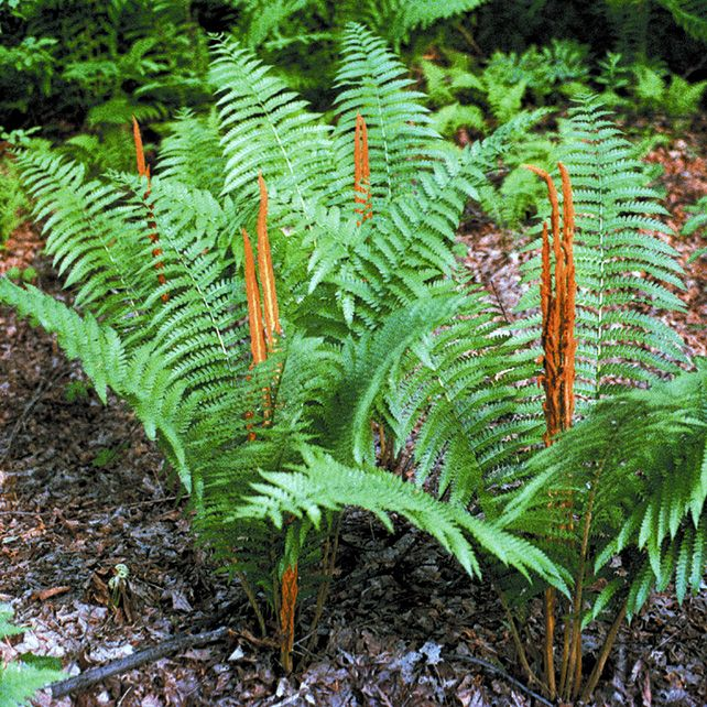 Osmunda Plant Lust Pa Native Butterfly And Hummingbird