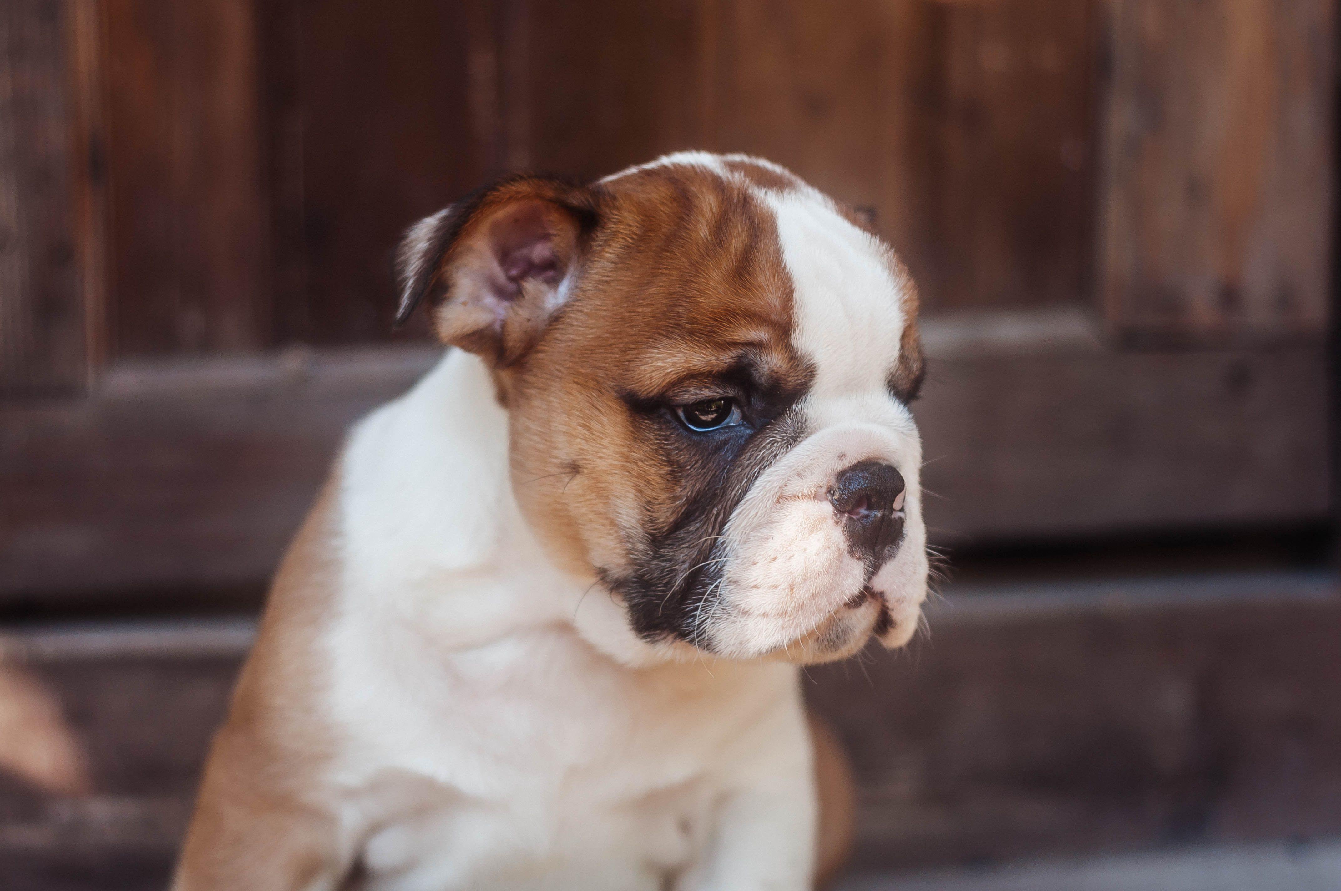 Pleasant Bulldog Puppy Puppy Dog Image Licensed