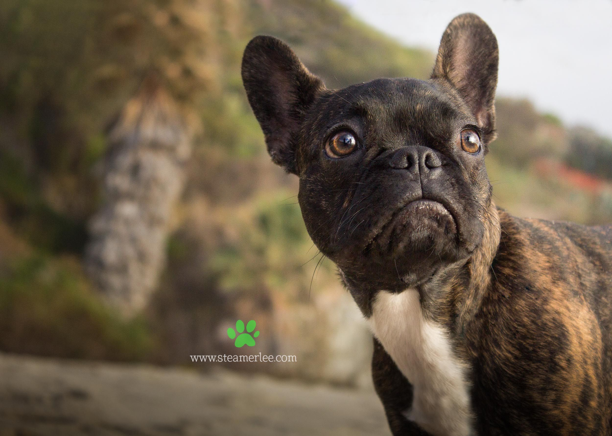 Steamer Lee Dog Photography Dogs are Family. Frenchie
