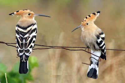 موسوعة الصور الأكثر وضوحا طائر الهدهد الذي ذكره سيدنا سليمان Birds Animals Bird