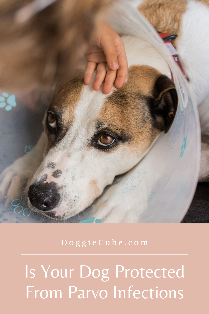 Is Your Dog Protected From Parvo Infections Dogs Dog Care Dog Health Tips
