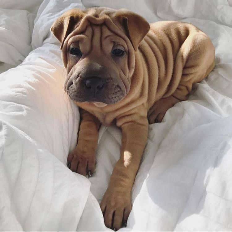 Cute Puppy Dog Animal Pets Dogs Shar Pei Puppies Cute