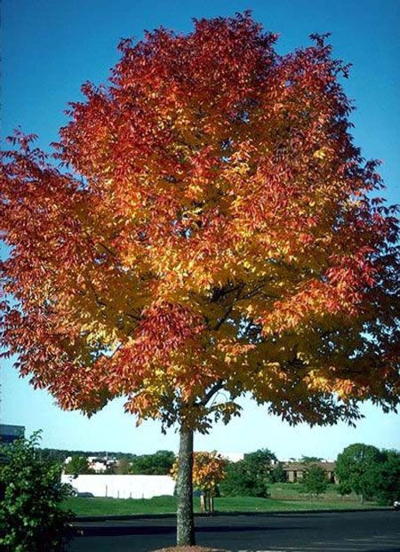 Autumn Purple Ash On Fast Growing Trees Nursery