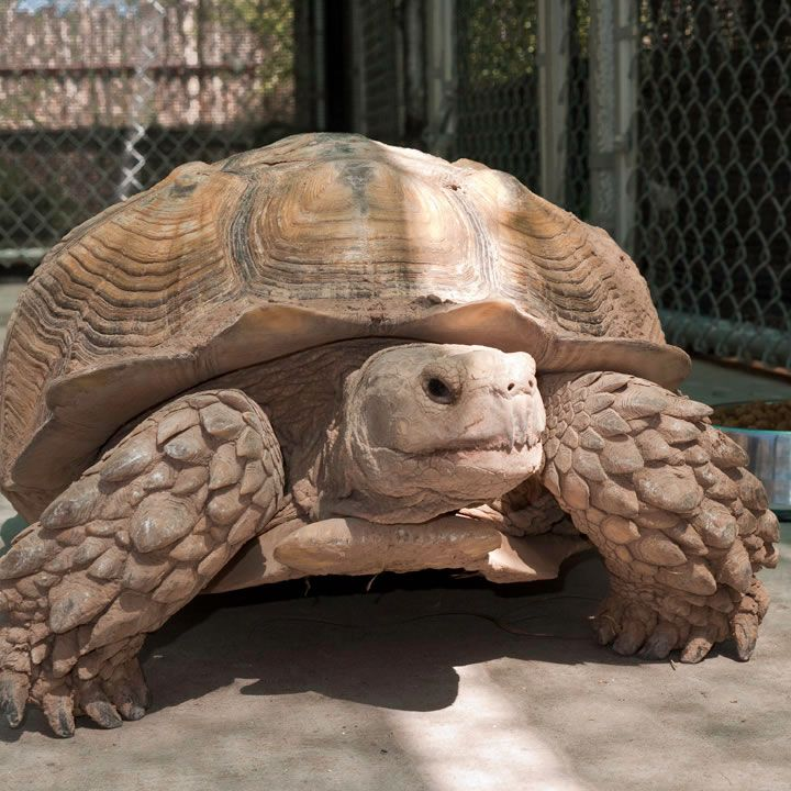 African Turtles African Desert Tortoise Turtles Pinterest - Man walks pet tortoise through tokyo