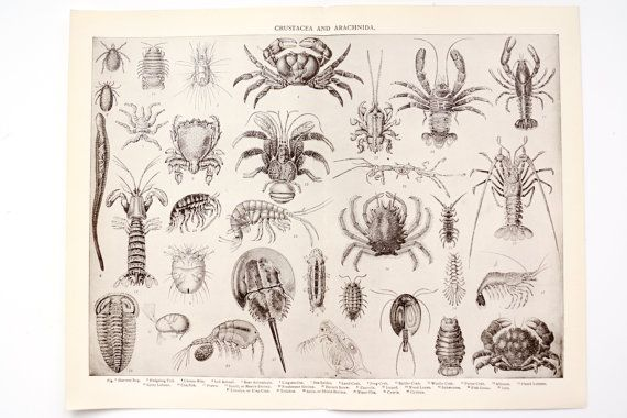 Vintage / Antique Crustacea and Arachnida Book Plate Engraving with Crab, Lobser and more (c.1900s) - Collectible, Home Decor, Art