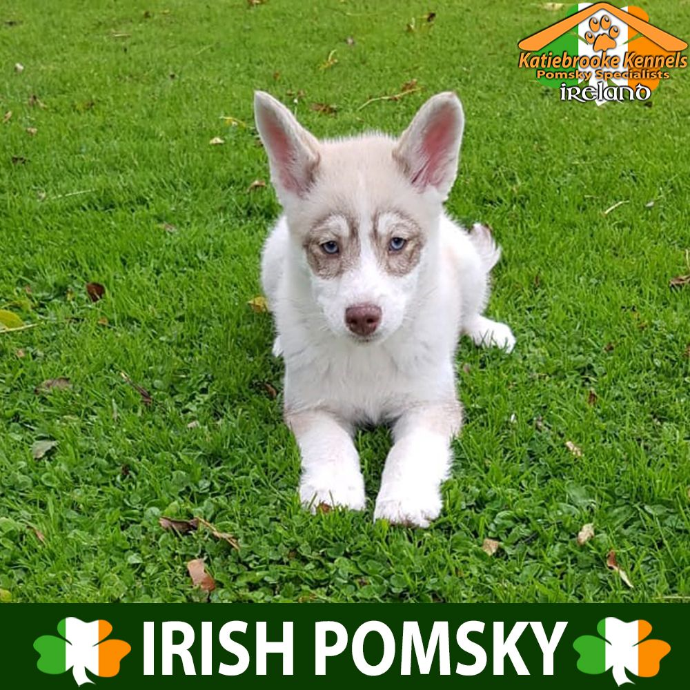 Pomsky Puppies Available Katiebrooke Kennels Pomsky Puppies
