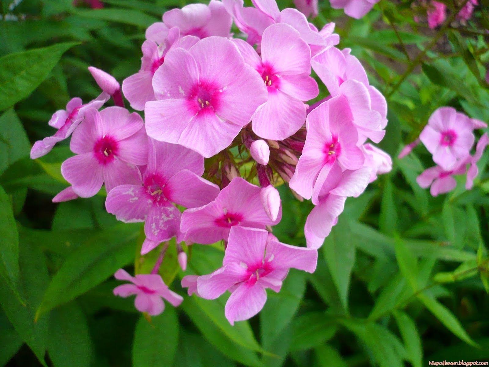 Niepodlewam Floks Wiechowaty Rozmnazanie I Sadzenie Plants Flowers Seeds
