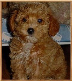 I Want This Dog Or Any Yorkiepoo For That Matter Yorkie Poo
