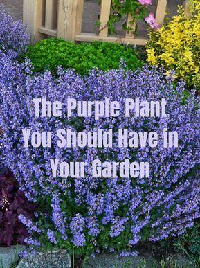 Catmint – How to Grow & Care for Nepeta - Garden Design