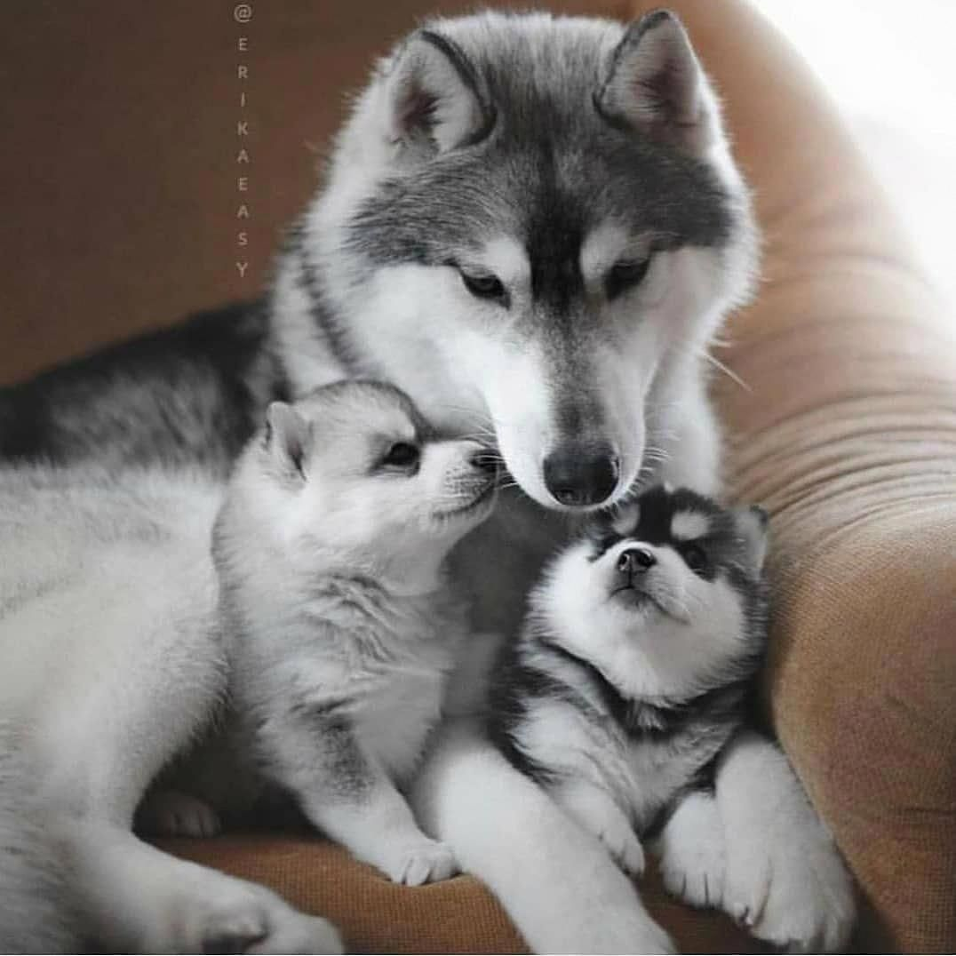 Receive Wonderful Tips On Huskies They Are Available For You On